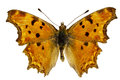 Polygonia egea Royalty Free Stock Photo