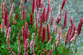 Polygonum 'darjeeling red', perennial flowers Royalty Free Stock Photo