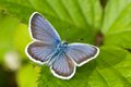 Polyommatus icarus butterfly on a green leaf Stock Photo