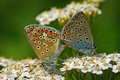 Polyommatus icarus pair Royalty Free Stock Photo
