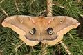 Polyphemus Moth Royalty Free Stock Photo