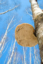Polypore on a birch tree Stock Photo