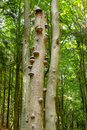 Polyporus growth on a tree squamosus mushrooms growing dead in the forest doubrava valley czech republic Stock Photos