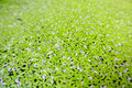 Polyrhiza close to the water plant duckweed spirodela Royalty Free Stock Photo