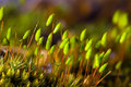 Polytrichum commune Royalty Free Stock Photos