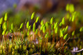 Polytrichum commune close up Royalty Free Stock Photo