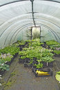 Polytunnel with hostas Royalty Free Stock Photography