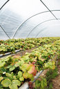 Polytunnel strawberry plants growing hydroponically in a plastic greenhouse Royalty Free Stock Images