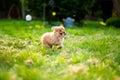 Pom-Chi Dog Puppy Running Thro...