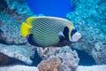 Pomacanthus imperator - emperor angelfish Royalty Free Stock Photo