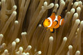 Pomacentridae clown fish or anemonefish in pacific ocean at panglao philippino Stock Photo