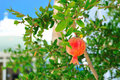 Pomegranate on a branch Royalty Free Stock Photography