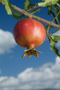 Pomegranate on branch Royalty Free Stock Photo