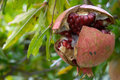 Pomegranate fruit, Punica granatum Royalty Free Stock Images