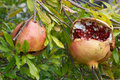 Pomegranate fruit, Punica granatum Stock Photos