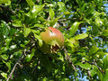 Pomegranate fruit on a tree branch with leaves Stock Photo