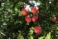 Pomegranate growing on a tree branch on day light Royalty Free Stock Photo