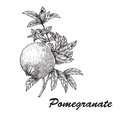 Pomegranate Punica granatum branch with fruit and leaves. Hand drawn botanical vector illustration.