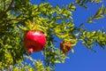 Pomegranate, ripening on the tree Royalty Free Stock Photo