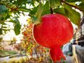 Pomegranate with the sun kissed Royalty Free Stock Photo
