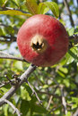 Pomegranate on tree red ripe his branch with green leaves Royalty Free Stock Photography