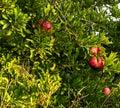 pomegranates ripen hot summer sun Royalty Free Stock Photo
