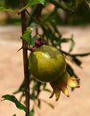 Pomegranates on the tree in garden Royalty Free Stock Images