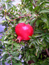 Pomegranite In Spanish Garden