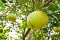 Pomelo fruit on tree Royalty Free Stock Photo