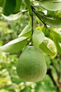 Pomelo tree Royalty Free Stock Photo