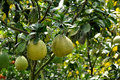 Pomelo trees in garden under sunshine Stock Images