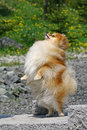 The Pomeranian