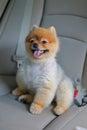 Pomeranian dog cute pet sitting in vehicle car Royalty Free Stock Photo