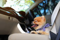 Pomeranian dog cute pet in vehicle car Royalty Free Stock Photo