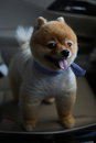 Pomeranian dog cute pet in vehicle car travel road trip Royalty Free Stock Photo