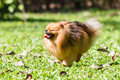 Pomeranian dog running on green grass in the garden Royalty Free Stock Photo