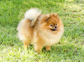 Pomeranian dog a side view of a small young beautiful fluffy orange standing on the grass pom dogs are considered to be in the toy Royalty Free Stock Photo