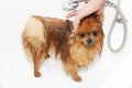 A pomeranian dog taking a shower with soap and water dog on white background dog in bath the Royalty Free Stock Photo