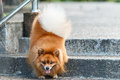Pomeranian dog walking down the stairs in the garden Royalty Free Stock Photo