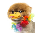 Pomeranian dog wearing hawaiian lei and duck beak close up of a groomed a a Royalty Free Stock Images