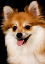 Pomeranian Portrait Stock Images