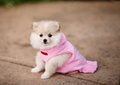 Pomeranian puppy an adorable dressed in pink dress Stock Images