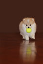 Pomeranian puppy adorable playing fetch Stock Photos