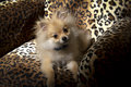Pomeranian puppy small sitting on leopard spotted chair Stock Image