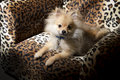 Pomeranian puppy small sitting on leopard spotted chair Stock Images