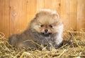 Pomeranian puppy on a straw Royalty Free Stock Photo