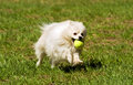 Pomeranian runs for the ball white Royalty Free Stock Photography