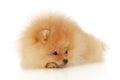 Pomeranian Spitz Stock Image
