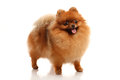Pomeranian spitz on the white background Stock Images