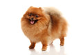 Pomeranian spitz on the white background Royalty Free Stock Photos